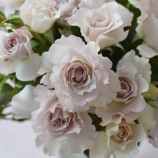 2 バラ ばら 薔薇 苗 ベージュ 白(その他)
