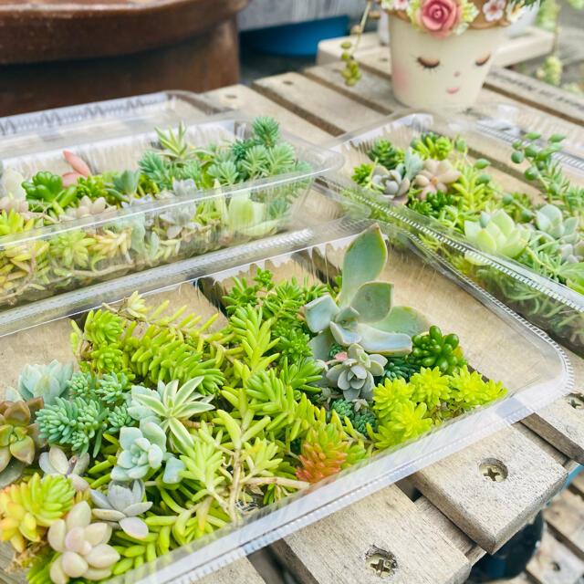 多肉植物 セダム 詰め合わせ カット苗 ハンドメイドのフラワー/ガーデン(その他)の商品写真