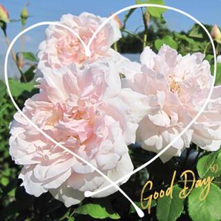 ◆ナチュラルエアリーな可憐FRつるバラ苗用『挿し穂』2本セット(その他)
