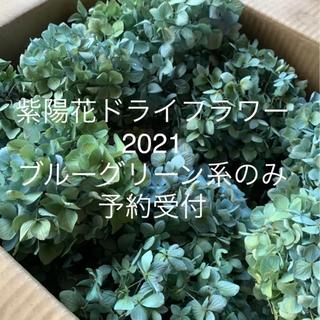 紫陽花ドライフラワー ブルーグリーン系のみ予約受付 (ドライフラワー)