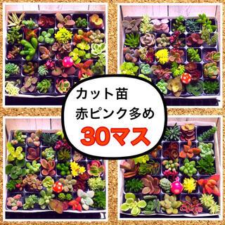 【PS30R i12-1】多肉植物 ミニミニカット苗♬30マス♬(その他)