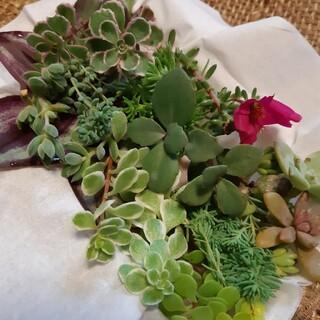 多肉植物 カット苗 セット売り (プランター)