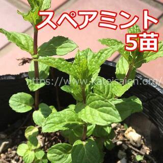 ■スペアミント苗 5株セット ハーブ野菜苗☆無農薬栽培♪(その他)