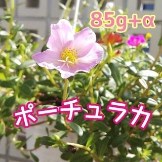 ポーチュラカ カット苗 85g(その他)