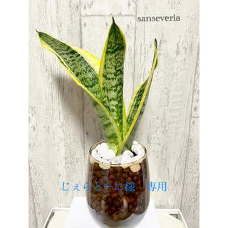 サンセベリア 観葉植物 ハイドロカルチャー(ドライフラワー)