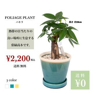 観葉植物 パキラ(その他)