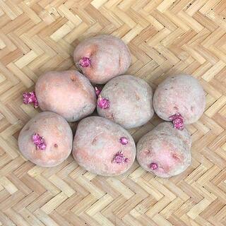 【現物】じゃがいも アンデスレッドの種芋 (土付 秋ジャガイモ用) 7個 32(その他)