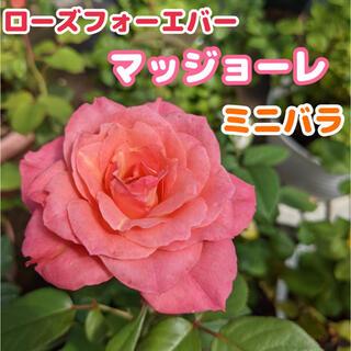ローズフォーエバー ミニバラ マッジョーレ(その他)