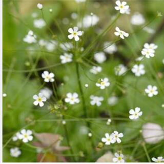珍しいお花 アンドロサセ スターダスト  種100粒以上 寄せ植え、切り花にも(その他)