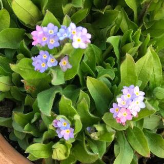グラデーション ライン入り珍しい色のわすれな草20粒 寄せ植え、切り花にも(その他)