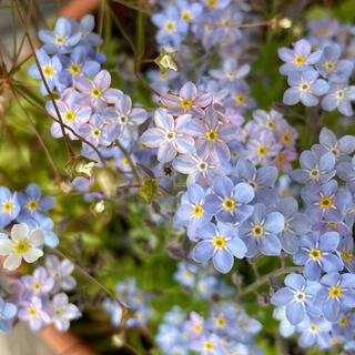 ブルー系 珍しいライン入りわすれな草 種10粒  寄せ植え、切り花にも(その他)