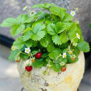 オーレアの葉のワイルドストロベリー アレキサンドリア カラーリーフ 種30粒(その他)