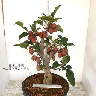 紅深山カイドウ 盆栽 実もの盆栽(その他)