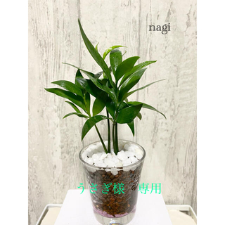 なぎの木(梛)観葉植物 ハイドロカルチャー(ドライフラワー)