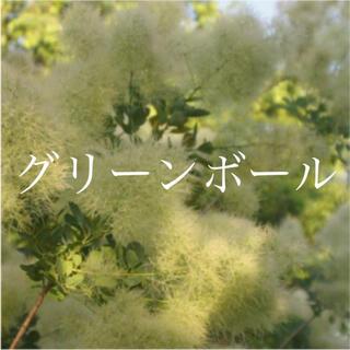 スモークツリー 苗 グリーンボール 苗木(ドライフラワー)