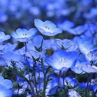 baby blue eyes爽やかなブルー花♪ネモフィラ インシグニスブルー種子(その他)