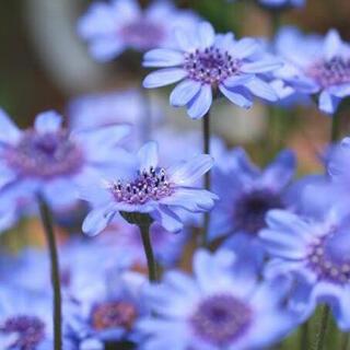 ブルーガーデンにおすすめ♡花芯まで青い フェリシア ブルー 種子 種(その他)