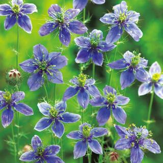 ニゲラ ブルーイスタンブール 種 青紫の大輪花ニゲラ 種子 切花にもOK♡種 花(その他)