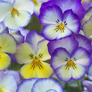 パンジー♡フローラルデイズ『クールサマーブリーズ』多彩な色合い 花 種 種子(その他)
