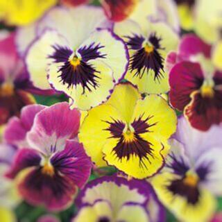 小輪パンジー フローラルデイズ 『ラズベリー』色幅豊富な覆輪咲き 種子 種(その他)