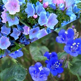 神秘的な青い花セット♪エキウムブルーベッダー+ファセリアカンパニュラリア 花 種(その他)