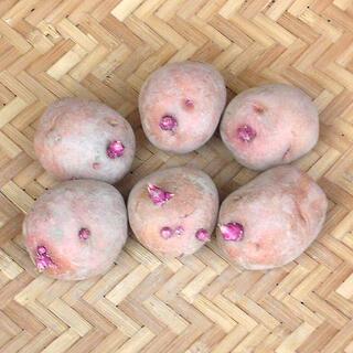 【現物】じゃがいも アンデスレッドの種芋 (土付 秋ジャガイモ用) 6個 33(その他)