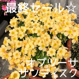 ☆残わずか☆値下げ☆オキザリス オブツーサ Sundisc 球根 8個(プランター)