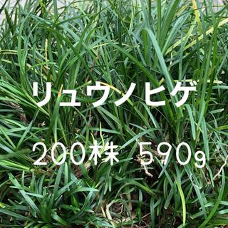 リュウノヒゲ タマリュウ 苗 200株 590g 龍の髭(その他)