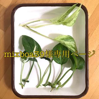 現品 ポトス 4種 黄色ゴム(プランター)