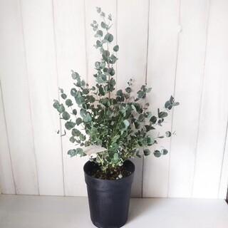 ①ユーカリグニー‼️可愛い葉っぱのハーブ❗️6号鉢!樹形綺麗ボリューム◎‼️(プランター)