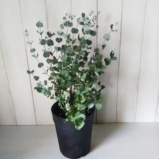 ②ユーカリグニー‼️可愛い葉っぱのハーブ❗️6号鉢!樹形綺麗ボリューム◎‼️(プランター)