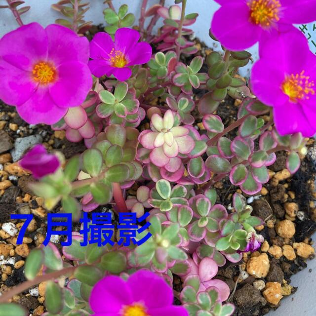 斑入りポーチュラカ✴︎ カット苗 ハンドメイドのフラワー/ガーデン(プランター)の商品写真