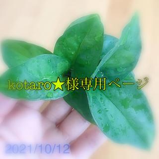 現品 ポトス 1種 緑色ゴム(その他)