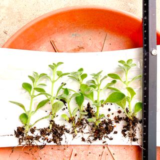 多肉植物  6本 プレクトランサス シルバーグラス 根付き苗(プランター)