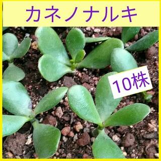 カネノナルキ 10株(その他)