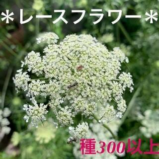 ホワイトレースフラワー種 300粒以上(その他)