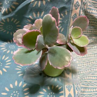 多肉植物🌱胡蝶の舞錦(その他)