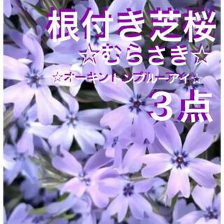 ☆今は希少❣️根付き芝桜☆紫☆オーキントンブルーアイ☆(プランター)