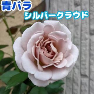 シルバークラウド 青薔薇 挿木 バラ 薔薇 バラ苗(その他)