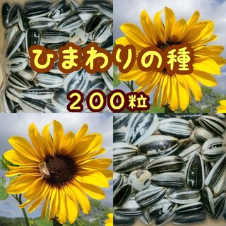 大きくそだつひまわりの種 たっぷり14g約200粒 高発芽率♫(野菜)