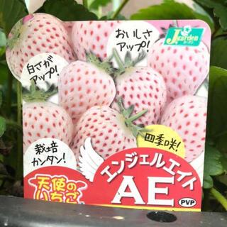 2株セット無農薬 白いちご 天使のいちご エンジェルエイト いちご苗(フルーツ)