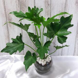 フィロデンドロン セローム 観葉植物 ハイドロカルチャー(プランター)