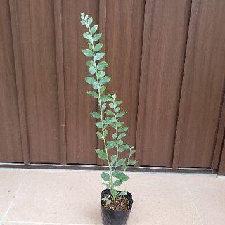 ちー様ご確認ページ パールアカシア ポット苗23 観葉植物 シンボルツリーに♪