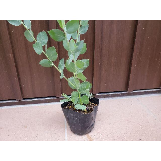 パールアカシア ポット苗24 観葉植物 シンボルツリーに♪ ハンドメイドのフラワー/ガーデン(プランター)の商品写真