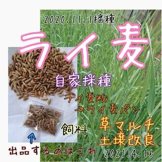 ライ麦 固定種 自家採種 緑肥 マルチ 雑草抑制 害虫防除 野菜の種 土壌改良(野菜)