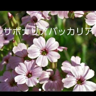 サポナリア バッカリアの種(その他)
