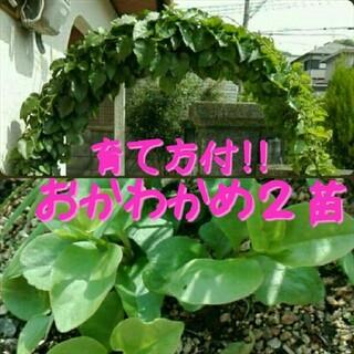 抜き苗・おかわかめ2株・オカワカメ(野菜)