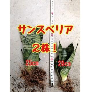 サンスベリア2株! 虎の尾 25cm、20cm 観葉植物 多肉植物 ガーデニング(プランター)