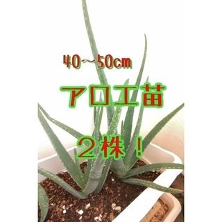 アロエ苗2株! 40~50cm 苗のみ 根付 観葉植物 多肉植物 サボテン(プランター)