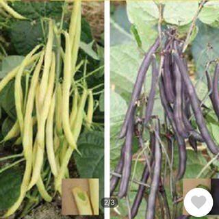 今種ます時期 イタリア野菜 カラフルなインゲンの種子 プランターOK(野菜)